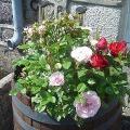 DSC03946 Roses.JPG